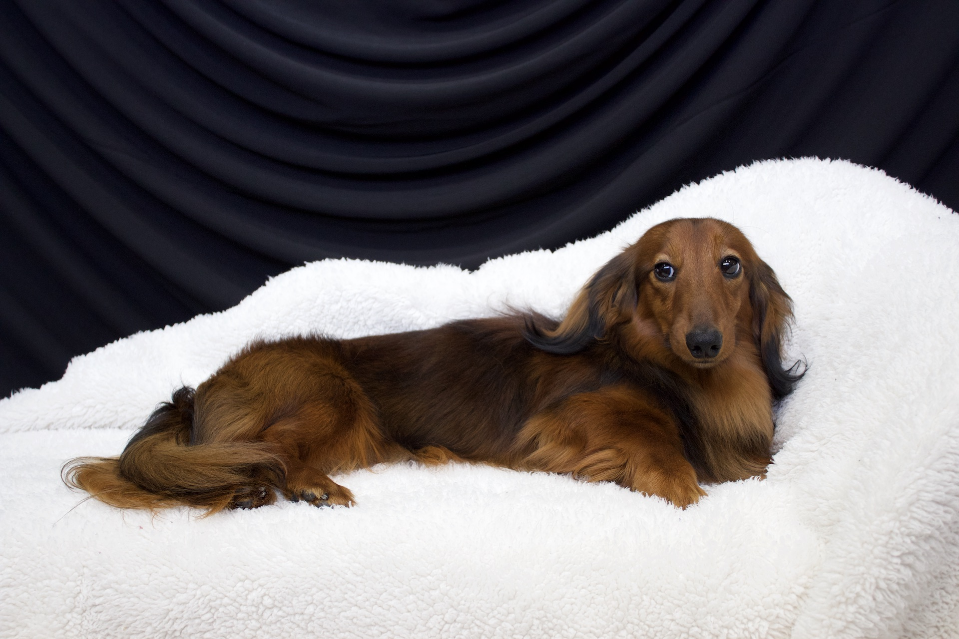 Available Puppies Regal Red Dachshunds